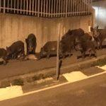 Cinghiali in corso Italia a Genova, bloccati sulla spiaggia