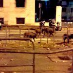 Marassi – Cinghiali a spasso in corso Sardegna, rischio incidenti