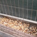 San Fruttuoso – Cinghiali richiamati in piazza Martinez con pane e cibo