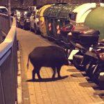 Quezzi – Cinghiale in via Pinetti, pericolo per i motociclisti