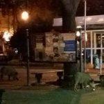 San Fruttuoso – Cinghiali in piazza Martinez, ormai non fanno più paura