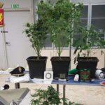 Cercano il ladro e trovano coltivazione di marijuana: due arresti