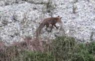 Marassi, volpe avvistata nel letto del Bisagno