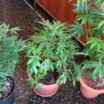 Genova Prè, sequestrati 2 kg di marijuana in via Gramsci. Nei guai due cittadini liguri