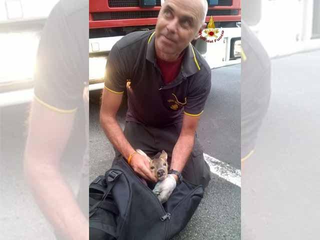 Salvataggio di un cucciolo di capriolo dei vigili del fuoco