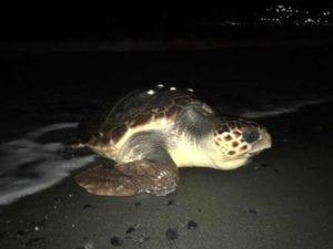 Marina di Campo, la nascita di 50 tartarughe emoziona l'Isola d'Elba