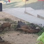 Marassi – I cinghiali non cadono in trappola e devastano i giardini – VIDEO