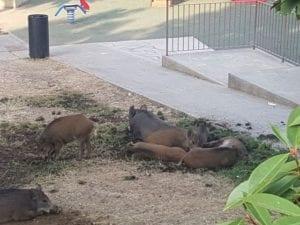 Marassi - I cinghiali non cadono in trappola e devastano i giardini - VIDEO