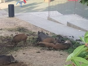 Marassi - Residenti tifano per i cinghiali che non entrano nelle gabbie