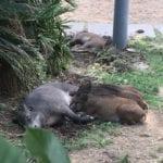 Marassi – Residenti tifano per i cinghiali che non entrano nelle gabbie