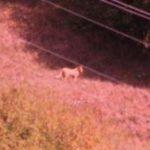 Puma in Val d'Aveto o bufala per allontanare i cercatori di funghi?