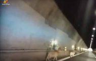 Capre invadono la A7 tra Genova e Bolzaneto, recuperate dalla Stradale - VIDEO