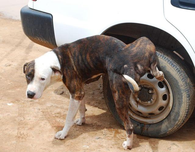 Cani - Bottiglietta obbligatoria per la pipì, multe sino a 300 euro