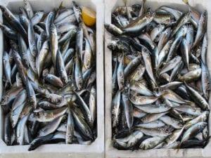 Centto Storico, sequestrati 320 chili di pesce congelato mal conservato