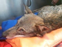 lupo ferito Tiglieto