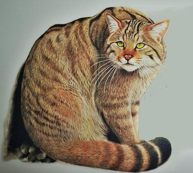 Gatto selvatico felis silvestris